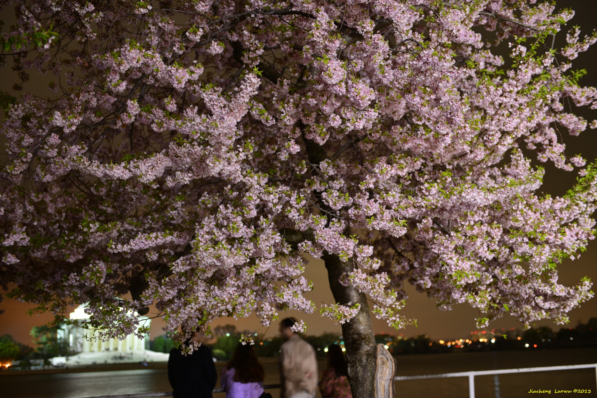 Cherry Blossom under Dark, NE Tidal Basin