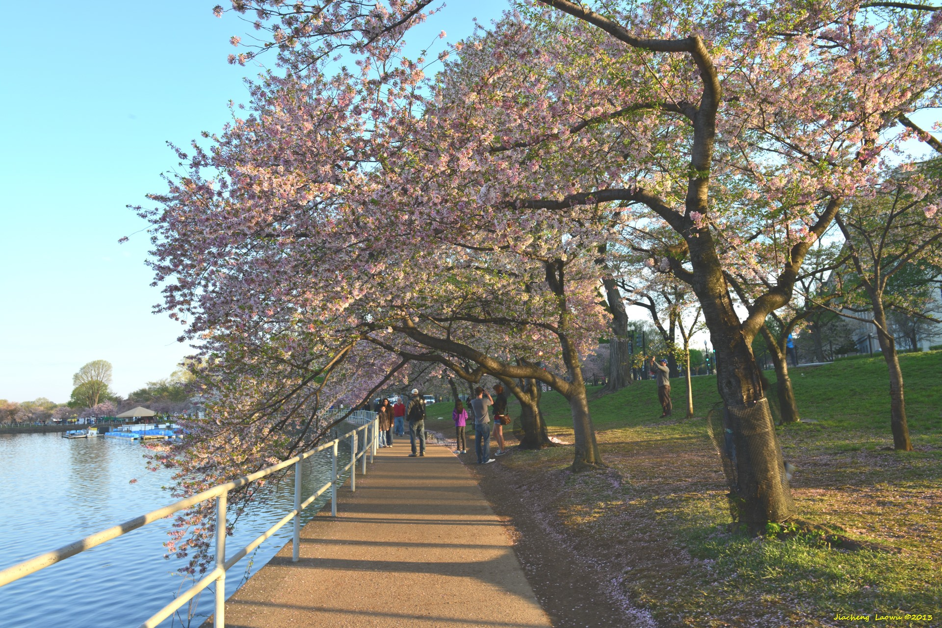 Cherry Blossom under Morning Sun, NE Tidal Basin
